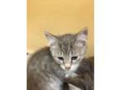 Adopt Rayne a Domestic Short Hair