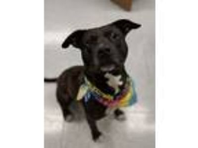 Adopt LENO a Pit Bull Terrier