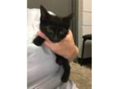 Adopt Betsy Kitten 1 a Domestic Short Hair