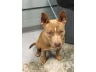 Adopt Diamond a Staffordshire Bull Terrier, Mixed Breed
