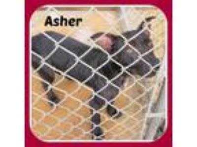 Adopt ASHER a German Shepherd Dog