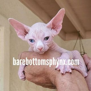 Sphynx kitten's available NOW# ready for Xmas