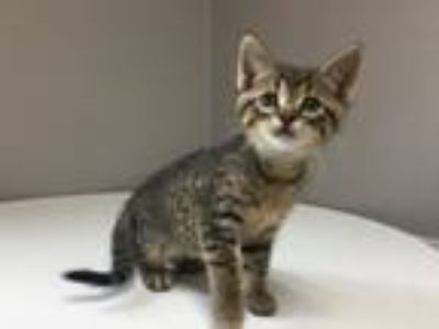 Adopt Braun a Domestic Short Hair