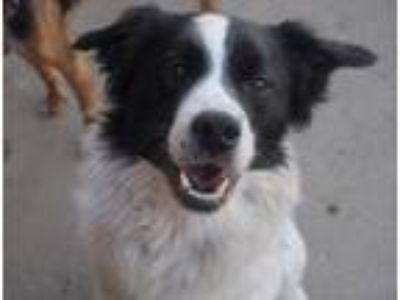 Adopt Bobby-Foster Home Needed a Spaniel, Border Collie