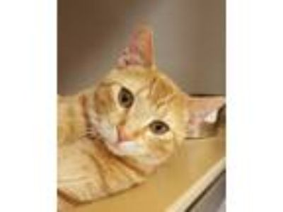 Adopt Ernest T. Bass a Orange or Red Tabby Domestic Shorthair (short coat) cat