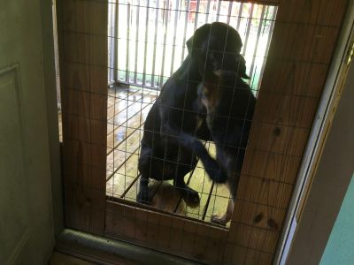 Female mastiff Great Dane mix 8 months old