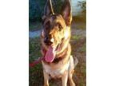 Adopt Sam a Black German Shepherd Dog / Mixed dog in Tampa, FL (25363280)