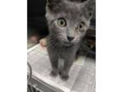 Adopt Thelonious Monk a Gray or Blue Domestic Shorthair / Domestic Shorthair /