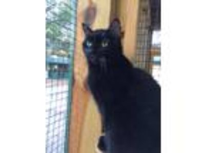 Adopt Missy a All Black Domestic Shorthair (medium coat) cat in Odessa