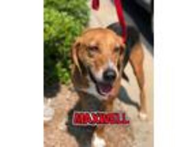 Adopt Maxwell a Treeing Walker Coonhound