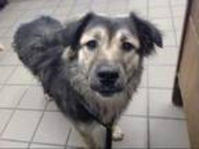 Adopt MOIRA a Brown/Chocolate - with Black Chow Chow / Mixed dog in Albuquerque