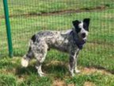 Adopt CHIP a Cattle Dog