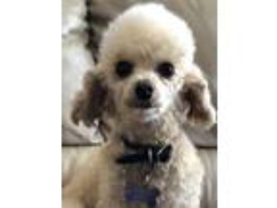 Adopt Snapdragon a Tan/Yellow/Fawn Toy Poodle / Mixed dog in Elgin