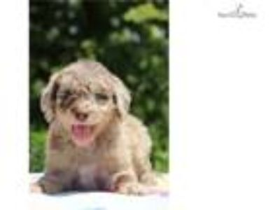 F1bb Sunny Red/Chocolate Merle Flashy Soon Girl