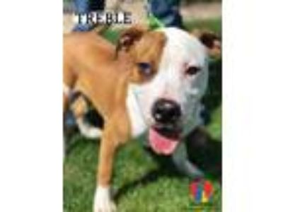 Adopt Treble a Brown/Chocolate American Pit Bull Terrier / Mixed dog in Grand