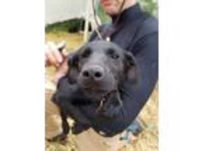 Adopt Adella a Black Airedale Terrier / Labrador Retriever / Mixed dog in Minot