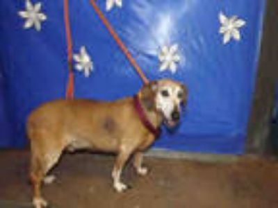 Adopt CLYDE a Tan/Yellow/Fawn - with White Mixed Breed (Medium) / Dachshund /
