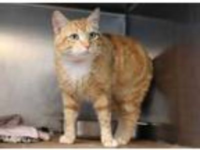 Adopt Pumpkin Patch a Orange or Red Domestic Shorthair / Domestic Shorthair /