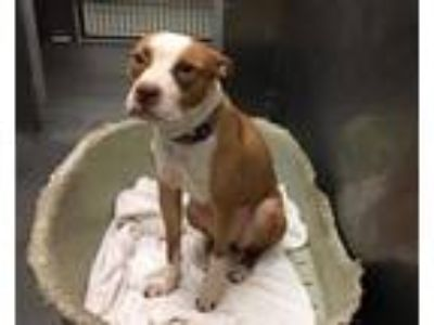 Adopt STRAY a Tan/Yellow/Fawn - with White American Pit Bull Terrier / Mixed dog