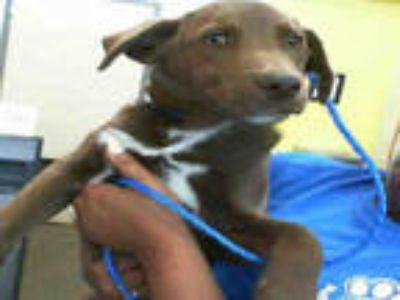 Adopt STRAY a Brown/Chocolate - with White Labrador Retriever / Mixed dog in