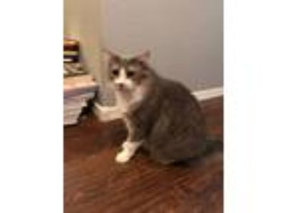 Adopt Lola a White (Mostly) Domestic Mediumhair / Mixed cat in Queen Creek