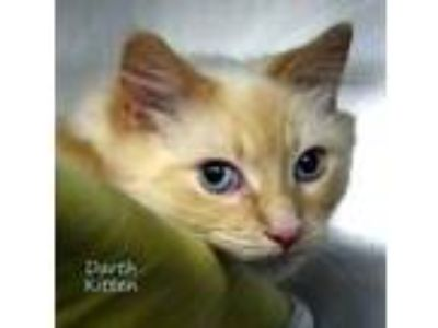 Adopt Darth Kitten a Cream or Ivory Domestic Longhair / Domestic Shorthair /