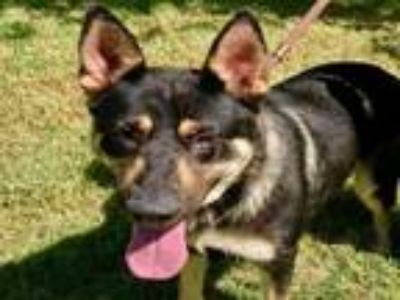 Adopt QUITA a German Shepherd Dog, Mixed Breed