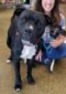 Lucie Boxer - Pit Bull Terrier Dog