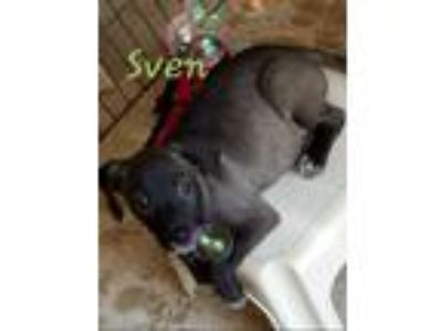 Adopt Sven a Black Labrador Retriever / Mixed dog in Warrenton, MO (25922905)