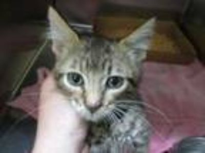 Adopt Jenson a Tan or Fawn Domestic Shorthair / Domestic Shorthair / Mixed cat