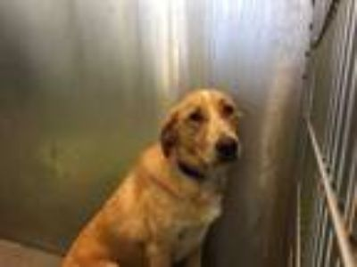 Adopt BLANCA a Tan/Yellow/Fawn - with White Labrador Retriever / Mixed dog in
