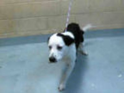 Adopt FREDDIE a White - with Black Australian Shepherd / Border Collie / Mixed