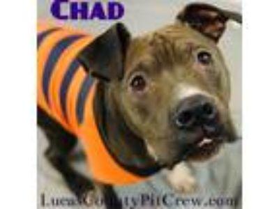 Adopt Chad a Labrador Retriever, Shar Pei