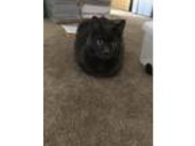 Adopt Grey a Gray or Blue Domestic Shorthair / Mixed cat in La Quinta