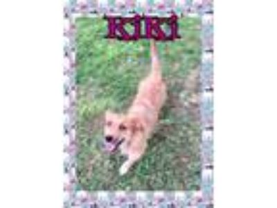Adopt Kiki a Wirehaired Terrier