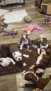 ***Charming Boston Terrier puppies ***