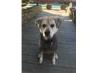 Adopt Jake from State Farm a Black - with Tan, Yellow or Fawn German Shepherd