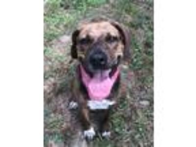 Adopt Nell a Brindle - with White Hound (Unknown Type) / Black Mouth Cur / Mixed