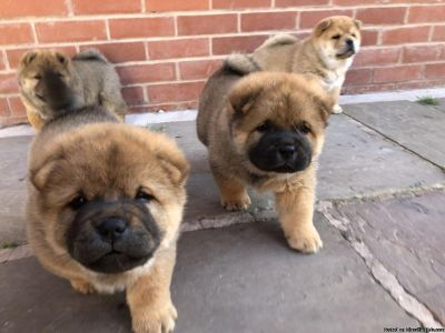 Top quality Male and Female chow chow puppies(100% Purebred).