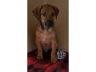 Adopt Brownie a Brown/Chocolate Mixed Breed (Large) / Mixed dog in Natchez