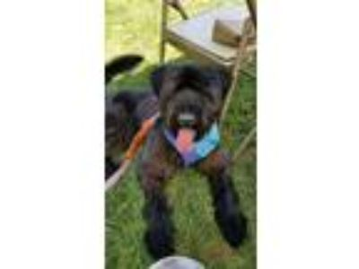 Adopt Rex a Black - with Brown, Red, Golden, Orange or Chestnut Giant Schnauzer
