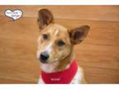 Adopt Tracy a Red/Golden/Orange/Chestnut - with White Australian Cattle Dog /