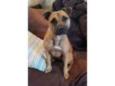 Adopt Francis a American Staffordshire Terrier, Black Mouth Cur