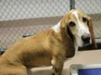 Adopt HANDSOME a Tan/Yellow/Fawn - with White Basset Hound / Mixed dog in San