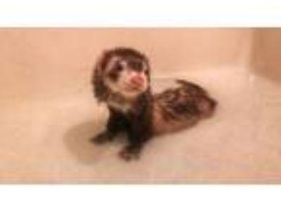 Adopt Finley a Ferret