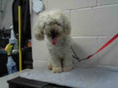 Adopt a White Poodle (Miniature) / Mixed dog in Moreno Valley, CA (25330707)