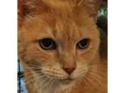 Adopt Carmel a Domestic Short Hair