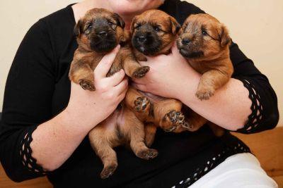 Inishmore Soft Coated Wheaten Terriers