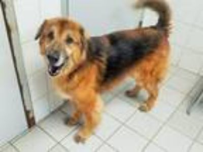 Adopt UNCLE JESSE a German Shepherd Dog, Border Collie