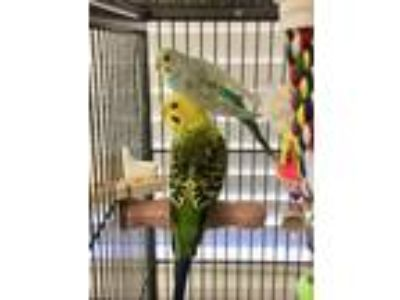 Adopt Petunia and Pepper a Parakeet (Other)